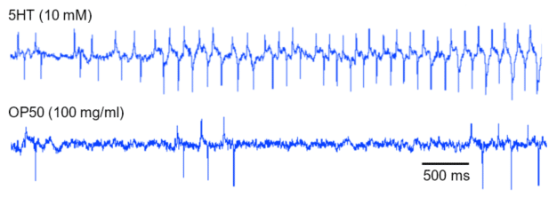 A short section of pump activity on 5HT vs the pump activity on OP50, both in C. elegans.