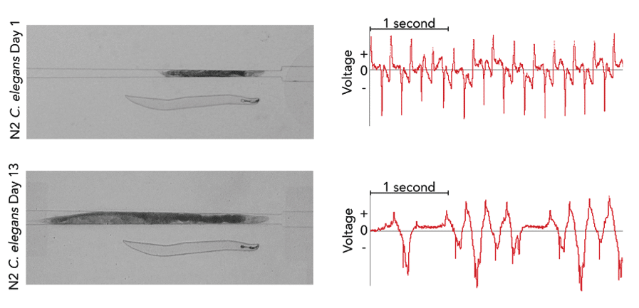 Comparative EPG recordings of C. elegans at different ages.