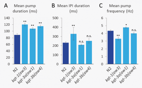 Figure 1: Effect of mutations in kqt-1 and kqt-3 on pharyngeal pumping. The EPGs of 1-day adult N2 (dark blue bars) and mutant (light blue bars) worms were recorded for an average of 130 seconds per worm. (A) Mean duration of pharyngeal pumps. (B) Mean duration of inter-pump interval (IPI). Large standard error in the case of kqt-1(aw3) mutants is likely attributable to occasional periods in which pumping ceased. (C) Mean frequency of pharyngeal pumping. Data were plotted as mean ± S.E.M. Statistics: One-way analysis of variance followed by Dunnett's post-hoc test to compare mutants to N2 worms, n > 17 worms for each mean. Symbols: n.s., not significant; *, p < 0.05; **, p < 0.01.