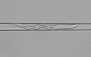 Announcing an L1-stage ScreenChip! Get EPG Recordings from L1 C. elegans.