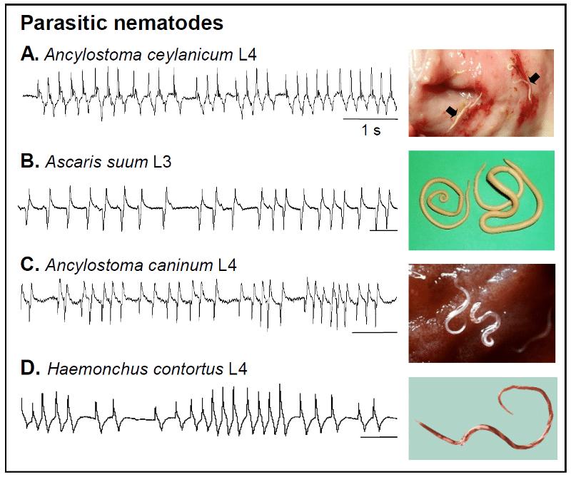 Pharyngeal Recordings (EPGs) taken from different species of parasitic nematodes