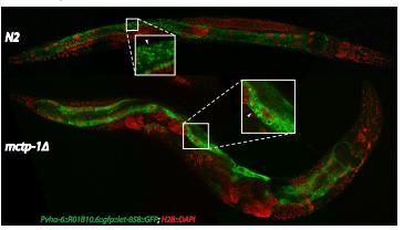 Modeling Rare Diseases in <i>Caenorhabditis elegans</i>