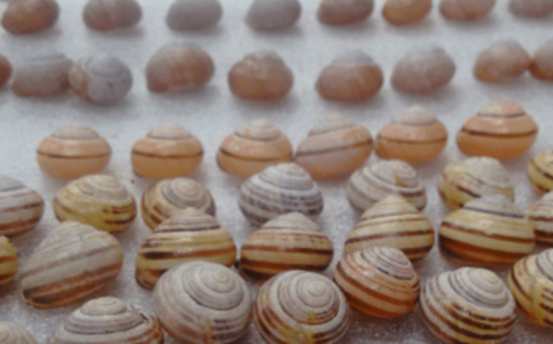 Gastropod shell has been co-opted to kill parasitic nematodes