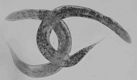<i>C. elegans</i>  in cancer research