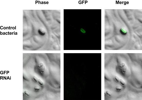 Figure 1. In CRISPR GFP insertion lines, progeny of L4/adult worms exposed to induced GFP RNAi bacteria lose expression of their gene of interest (GOI) that is fused to GFP
