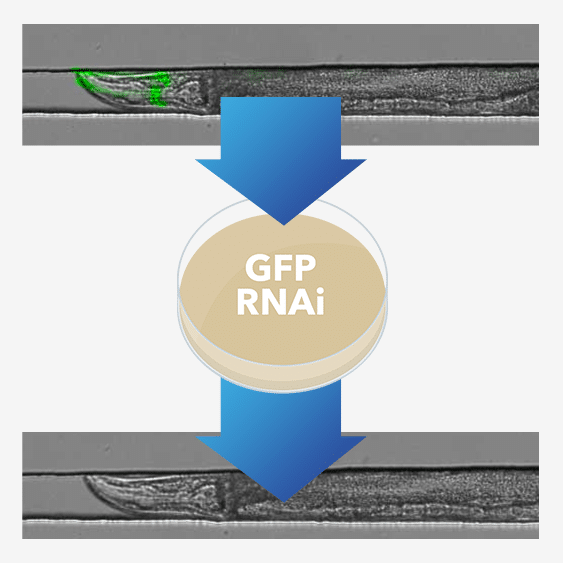 GFP RNAi Bacteria