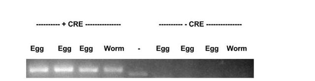 C. elegans Mutation - Floxed Allele FigB