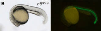 An Abnormal Absence of Antibodies: Filling the Gaps with Gene Editing Tools in Zebrafish