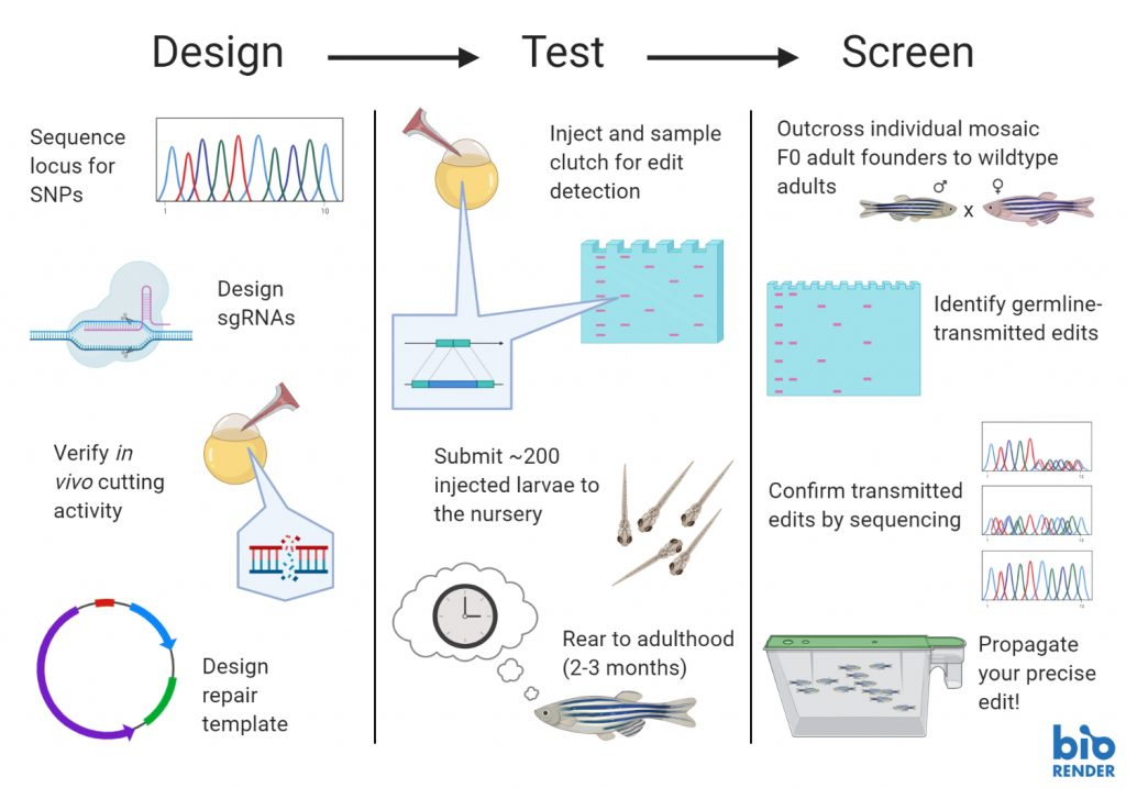zebrafish crispr knock in protocol_workflow