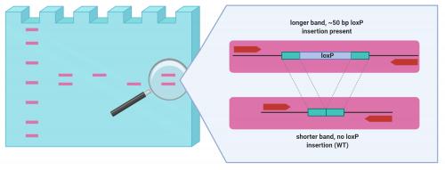 Testing 4 samples for a loxP insertion in zebrafish