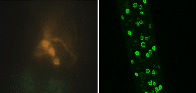 Image of C. elegans with fluorescence.