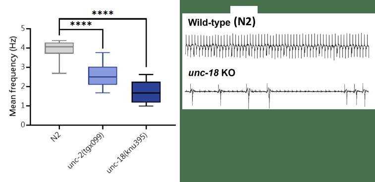 C. elegans pharyngeal pumping phenotype.