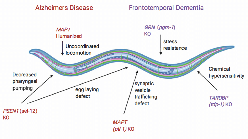 C. elegansas a transgenic model for studying Alzheimer's Disease (AD) and Frontotemporal Dementia (FD)