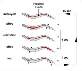 The defecation cycle of C. elegans.