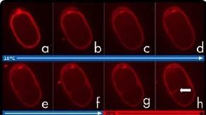 C.-elegans-cytokinesis-arrest