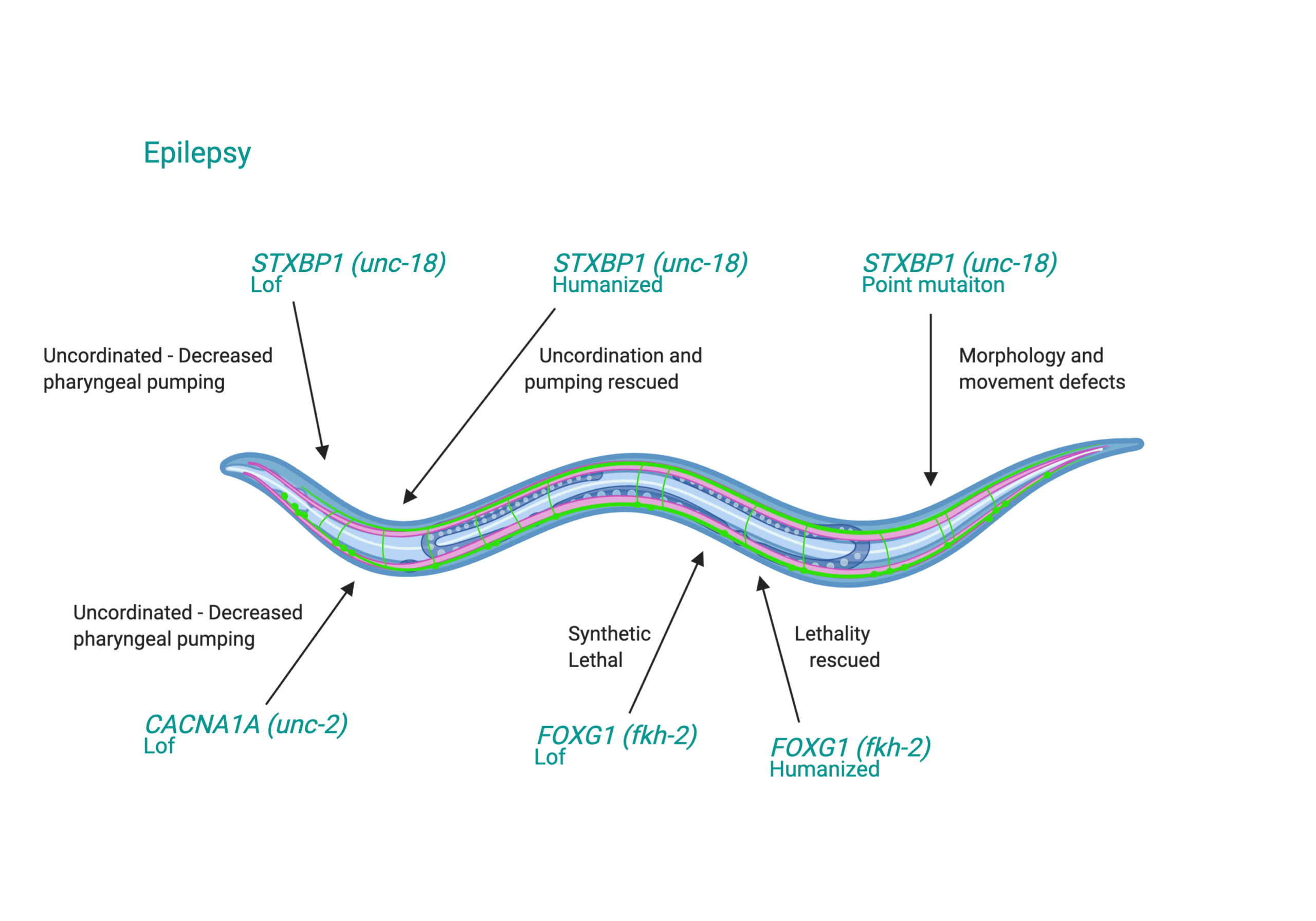C. elegans for Epilepsy