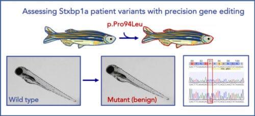 zebrafish STXBP1 mutant