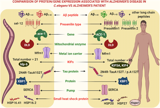 Figure 1. Comparison of Protein/Gene expression Associated with Alzheimer's disease in C. elegans vs. Alzheimer's Patient (Paul, D., Chipurupalli, S., Justin, A., Raja, K., & Mohankumar, S. K. (2020). Caenorhabditis elegans as a possible model to screen anti-Alzheimer's therapeutics. Journal of pharmacological and toxicological methods, 106, 106932. https://doi.org/10.1016/j.vascn.2020.106932).