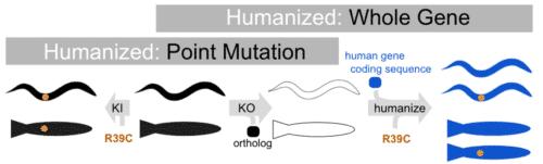 2 types of humanization