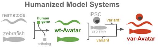 Figure 2. Humanized C. elegans nematodes, and zebrafish