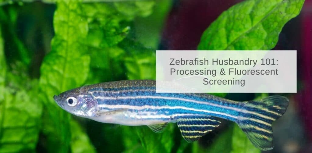 Zebrafish Husbandry 101: Processing & Fluorescent Screening