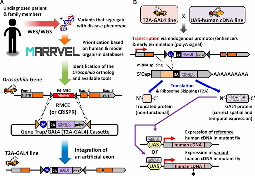 """Figure 3: Strategy to """"humanize"""" a Drosophila gene to assess functional consequences of a novel variant"""