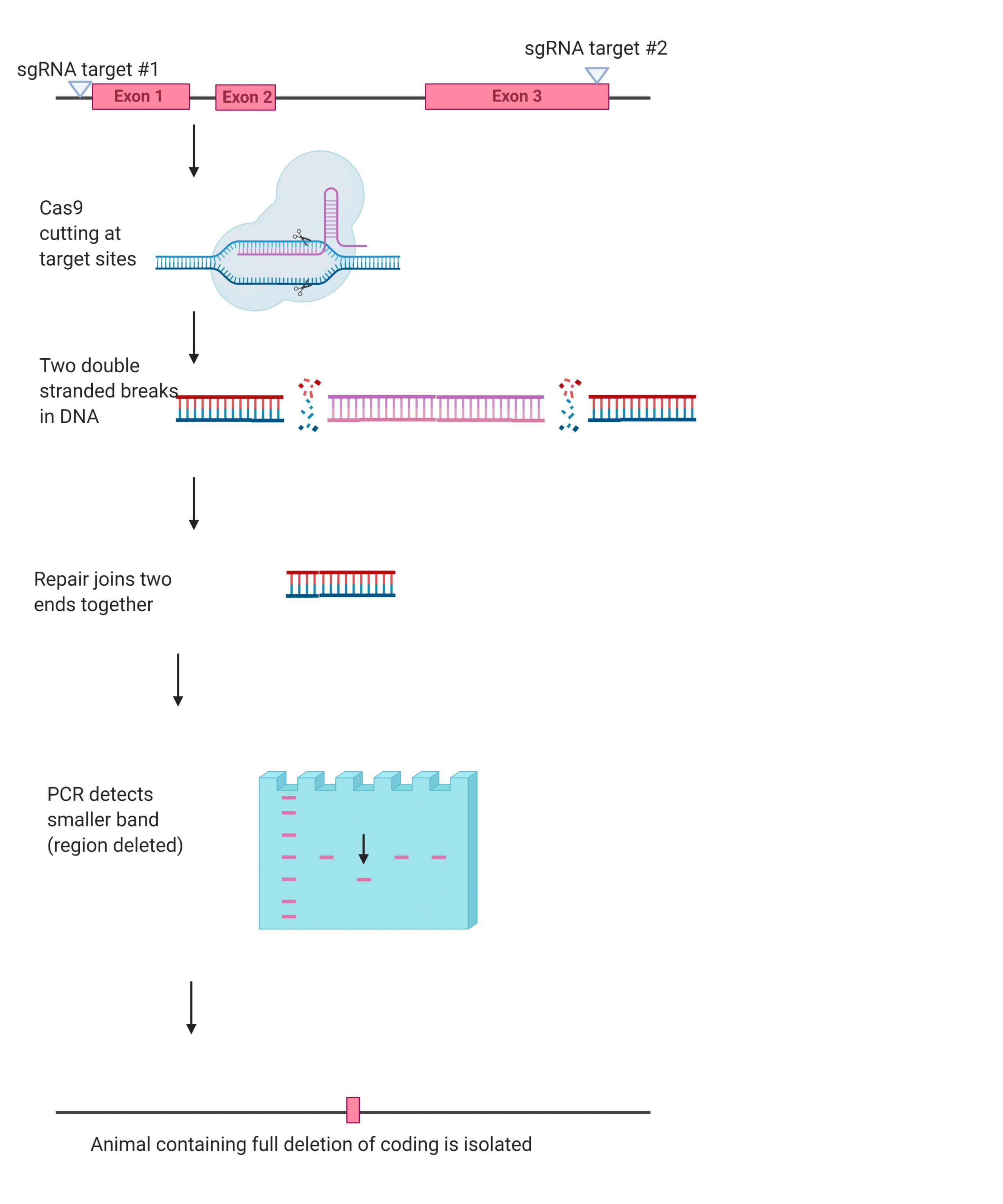 Figure-Two.-Example-of-the-full-deletion-method-created-in-BioRender