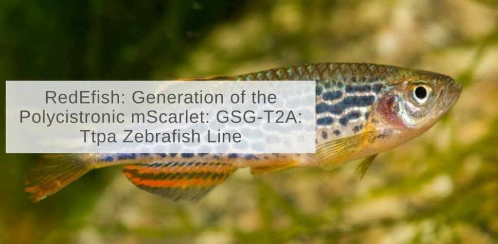 RedEfish: Generation of the Polycistronic mScarlet: GSG-T2A: Ttpa Zebrafish Line